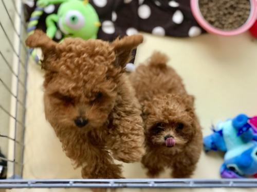 トイプードル子犬♪