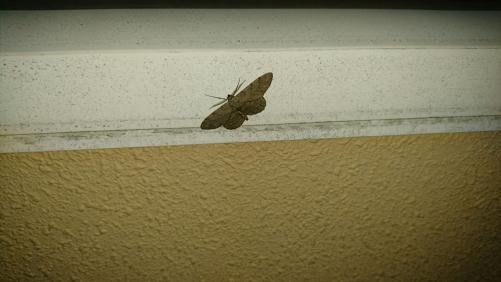 ベランダにいた蛾