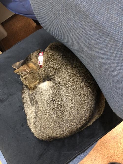 今日の看板猫レイちゃんΣ(-᷅_-᷄๑)