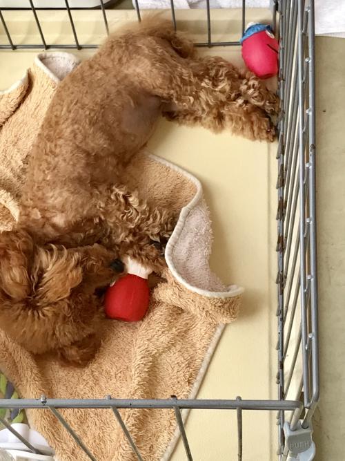 トイプードル♪子犬
