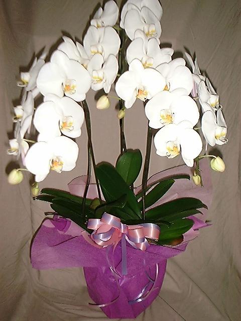 胡蝶蘭は宅配より、やはり花屋が配達したい。