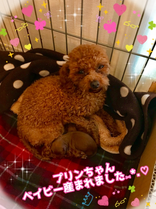 トイプードル子犬出産!
