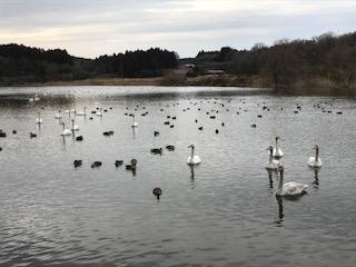 羽田沼の白鳥、カモ、キンクロハジロ、オオバン