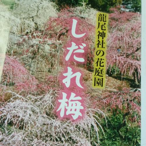 龍尾神社さんのしだれ梅が見頃を迎えました。