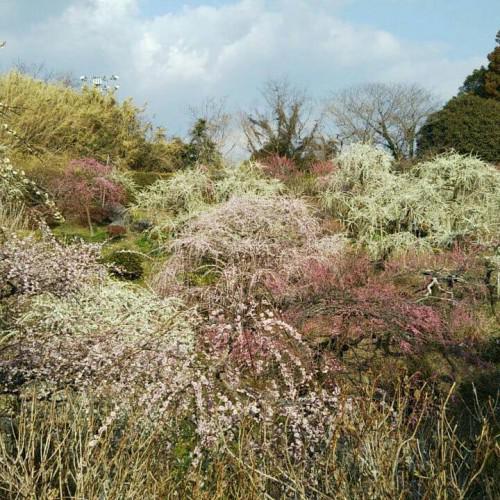 龍尾神社さんのしだれ梅と掛川桜とひな祭り