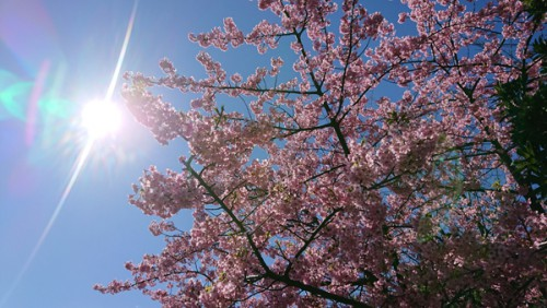 2019.03.08 桜