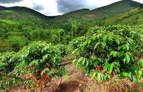 ルワンダのコーヒー