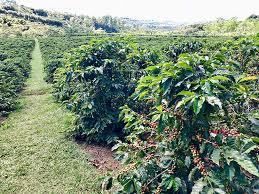 コスタリカのコーヒー