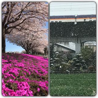 きのうは花見、きょうは雪見