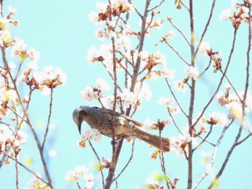 桜に集まるのは人だけではない