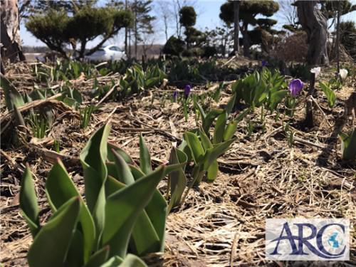 春チューリップの季節!道東方面土地強化買取り中!