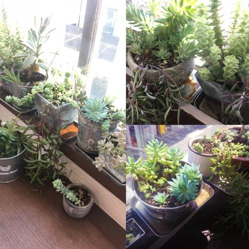 多肉植物 もりもり成長中