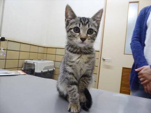 5/21ワクチン 和猫、ミックス 動物病院 名古屋市緑区天白