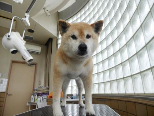 6/8トリミング 柴 熊の前動物病院 名古屋市緑区天白区日進