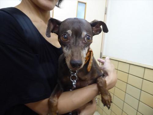 817ワクチン ミニピン、トイプー 動物病院 名古屋市緑区
