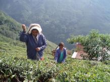 広大な茶園で作られる薫り高い銘茶