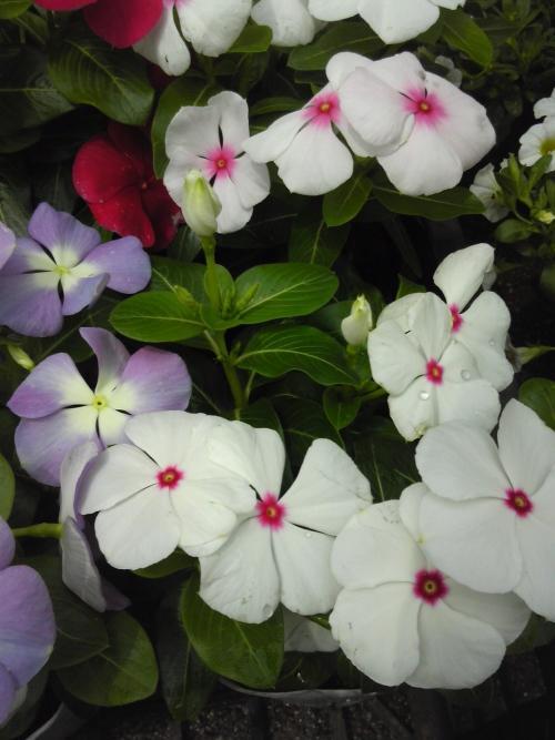 日日草は毎日、新しい花を咲かせるのです。