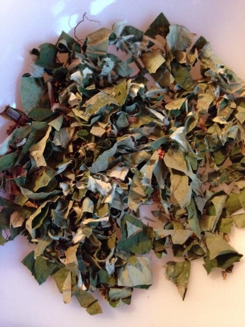 茶摘み中年