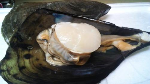 平貝!刺身でも、塩焼きでも美味です!