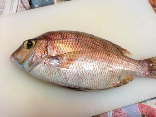 本日の仕入れ!夏の旬魚 メイチ鯛(一味鯛)