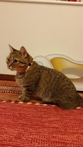 癒しのペット 猫マンチカン