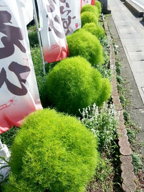 夏から秋の当店の目印は、コキアでございます(^-^)/