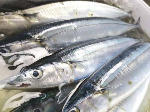 旬の魚 生秋刀魚が脂がのって美味です