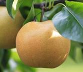 『旬の梨で、デトックス!』
