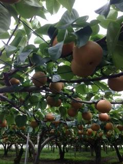 栃木の梨ナッシー‼︎