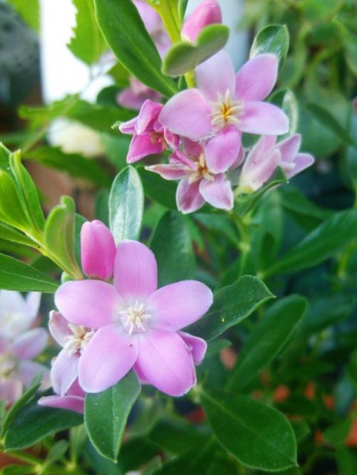 エステサロン♪本日のお花「クロウエア」