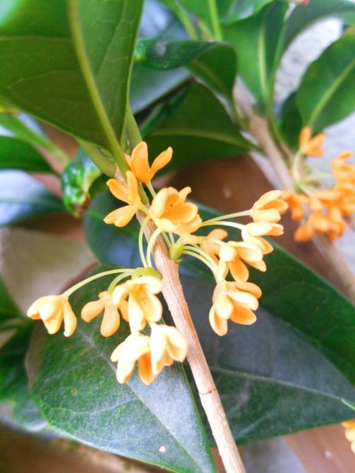 リンパマッサージサロン、本日のお花「金木犀」
